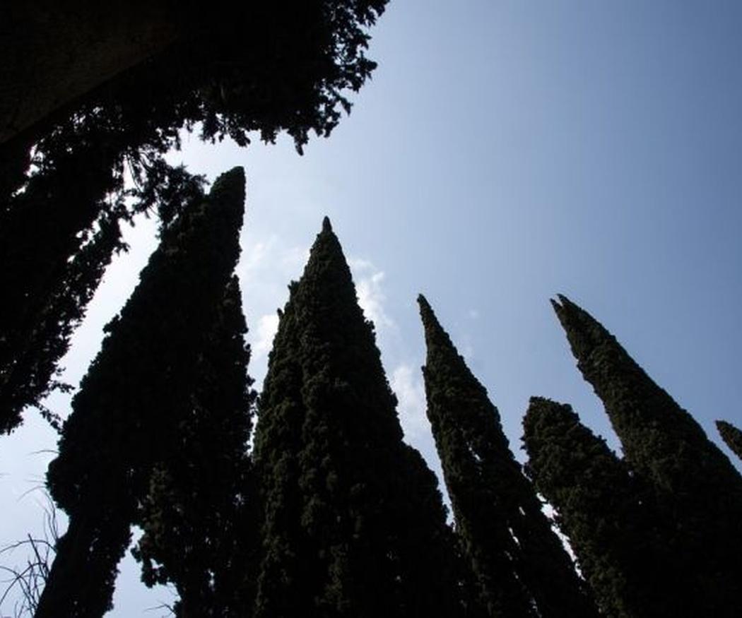 ¿Por qué hay cipreses en los cementerios?