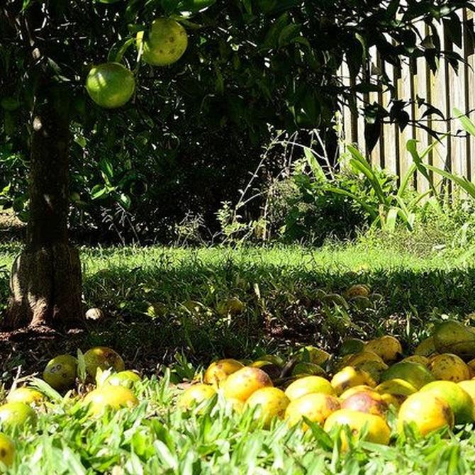 Cuida los árboles frutales frente al invierno
