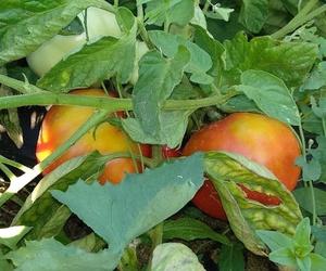 El tomate que sabe a tomate, ya lo tenemos en La Huerta de Leo