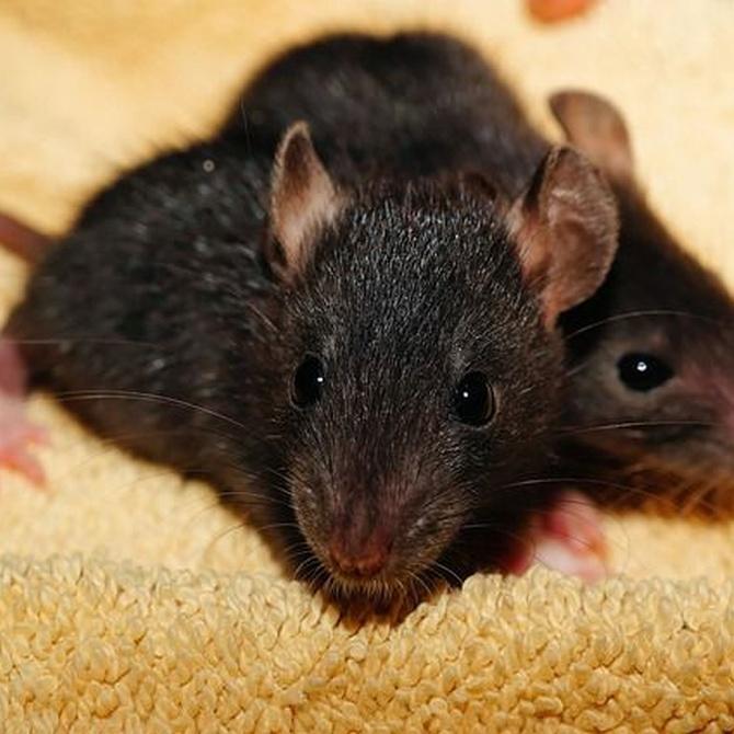 Principales enfermedades transmitidas por roedores