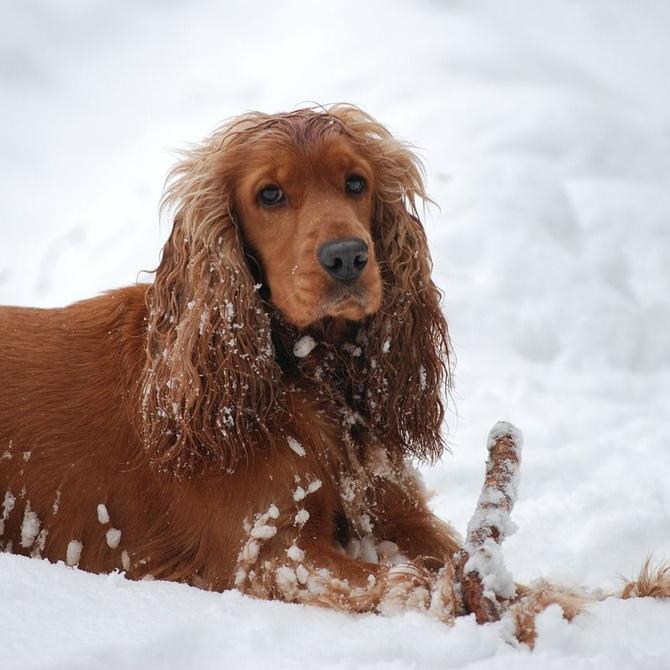 Cómo cuidar el pelo de tu perro en invierno
