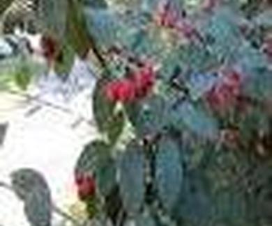 Cotoneaster glaucophyllus Franch. Ref. 16 ( Arbusto )