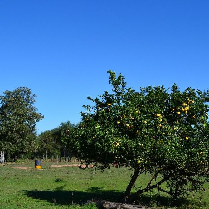 Cómo podar los árboles cítricos