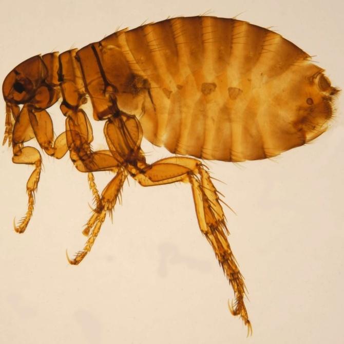 Aspecto y comportamiento de las pulgas