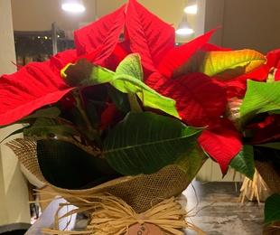 Plantas de Navidad.
