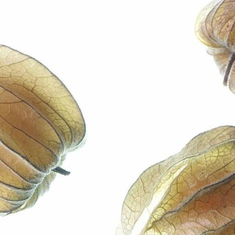 Alquequenje (Physalis): Productos de Mundifruit