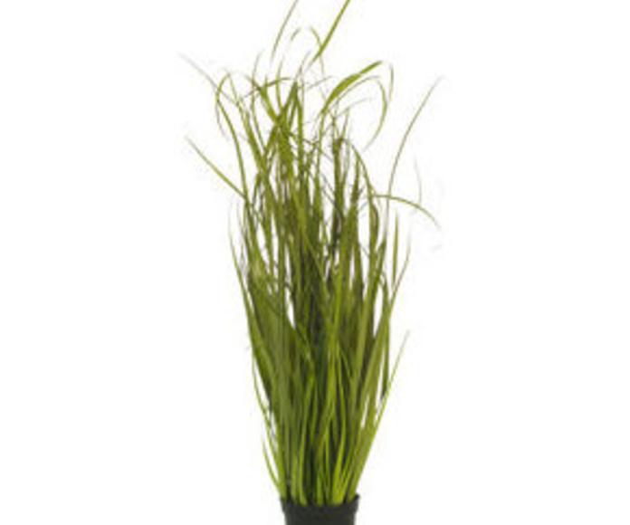 Planta Onion Grass 100cm