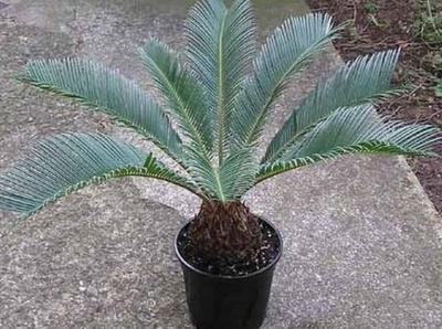 Palmáceas: De La Hoz Viveros