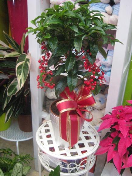 Ardisa: Catálogo de flores y plantas de Floristería Pétalos