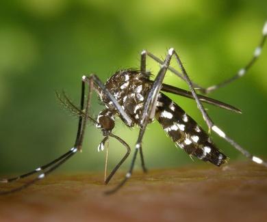 Mosquito tigre en españa