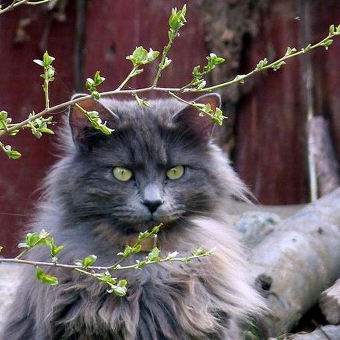 Cuidados para el pelaje de tu gato