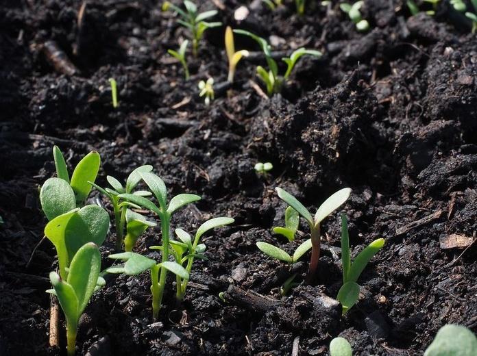 Siembra ( Silvicultura ): Catálogo de Salvia Jardinería