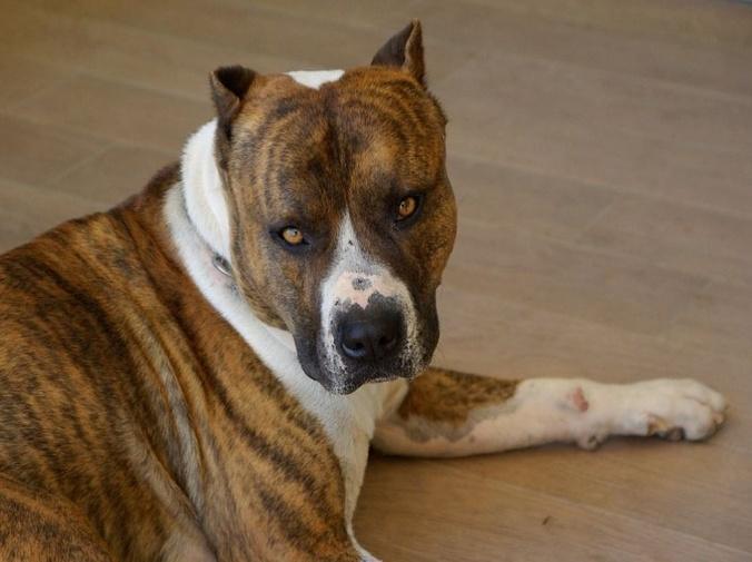 ¿Cuáles son los perros potencialmente peligrosos?