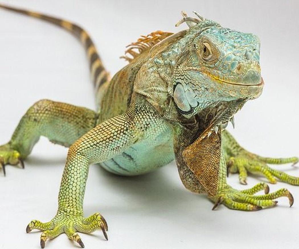 Cómo cuidar a una iguana