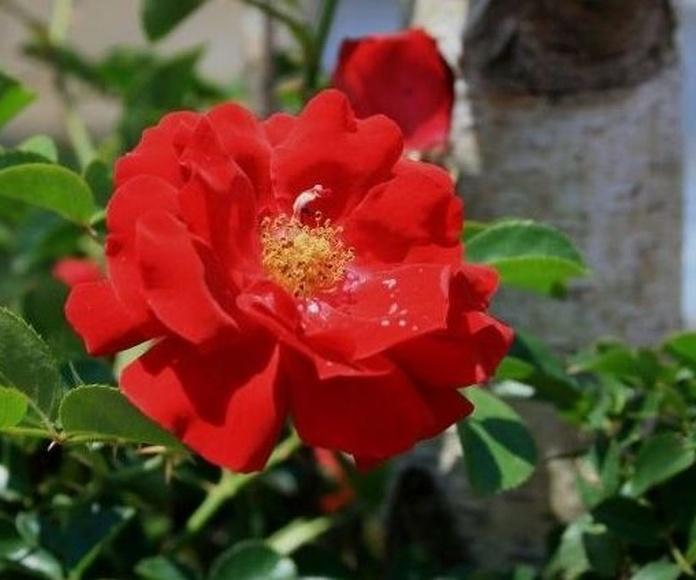 Rosa Silvestre | Terapias Alternativas Isabel | Flores de Bach en Zaragoza