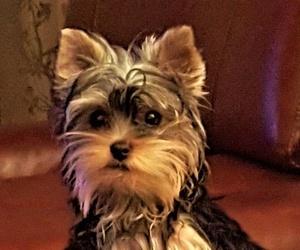 Can Exprés servicio veterinario a domicilio  Zaragoza : yorkshire terrier cachorrita,inteligente y confiada
