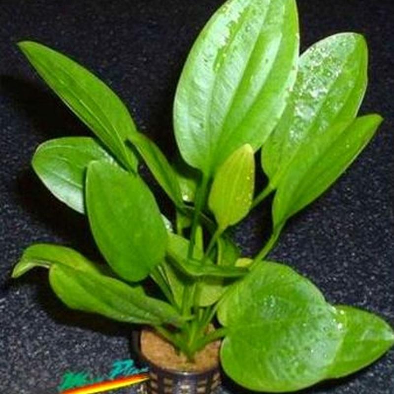 Echinodorus radicans.