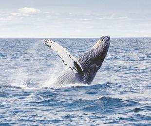 La leyenda telhueche sobre el origen de las ballenas