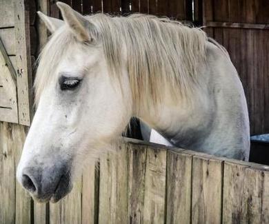 Los caballos piden ayuda con las orejas