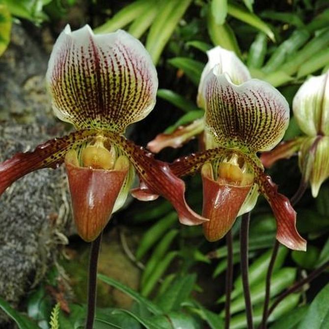 ¿Qué especies de orquídeas existen?