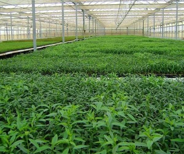 Plantas de pistacho y almendro