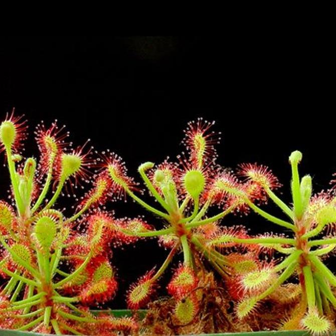 Plantas carnívoras, un regalo original y exótico