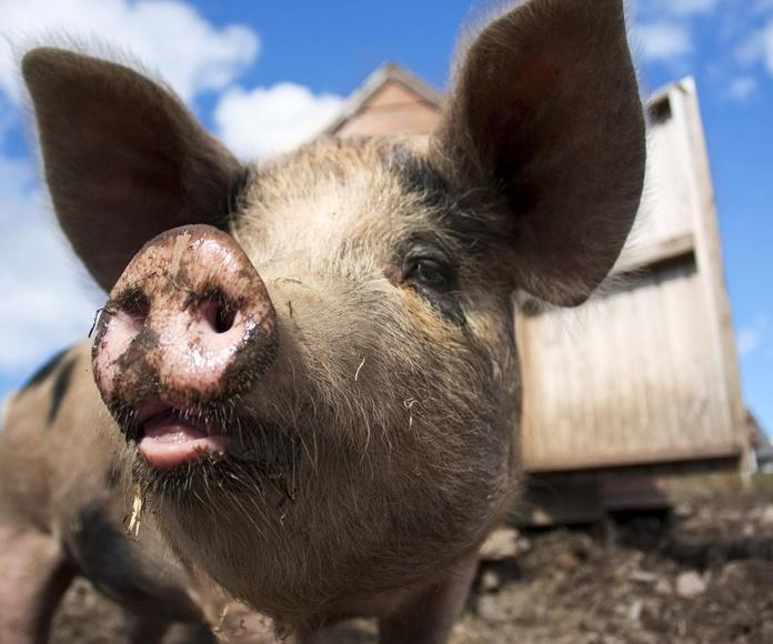 Piensos porcinos: Productos y servicios de Piensos Fauna