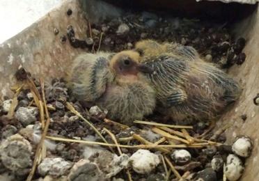 Control de natalidad de palomas