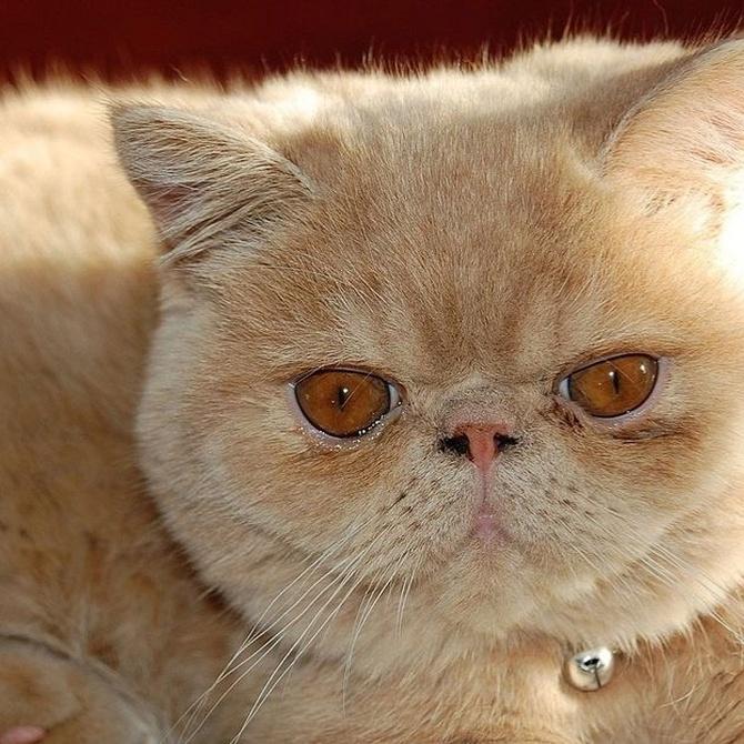 Carácter y cuidados del gato persa