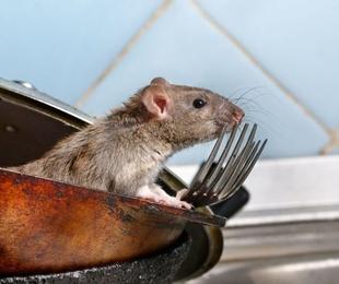 Desratización en Alicante: Control de roedores, ratas y ratones