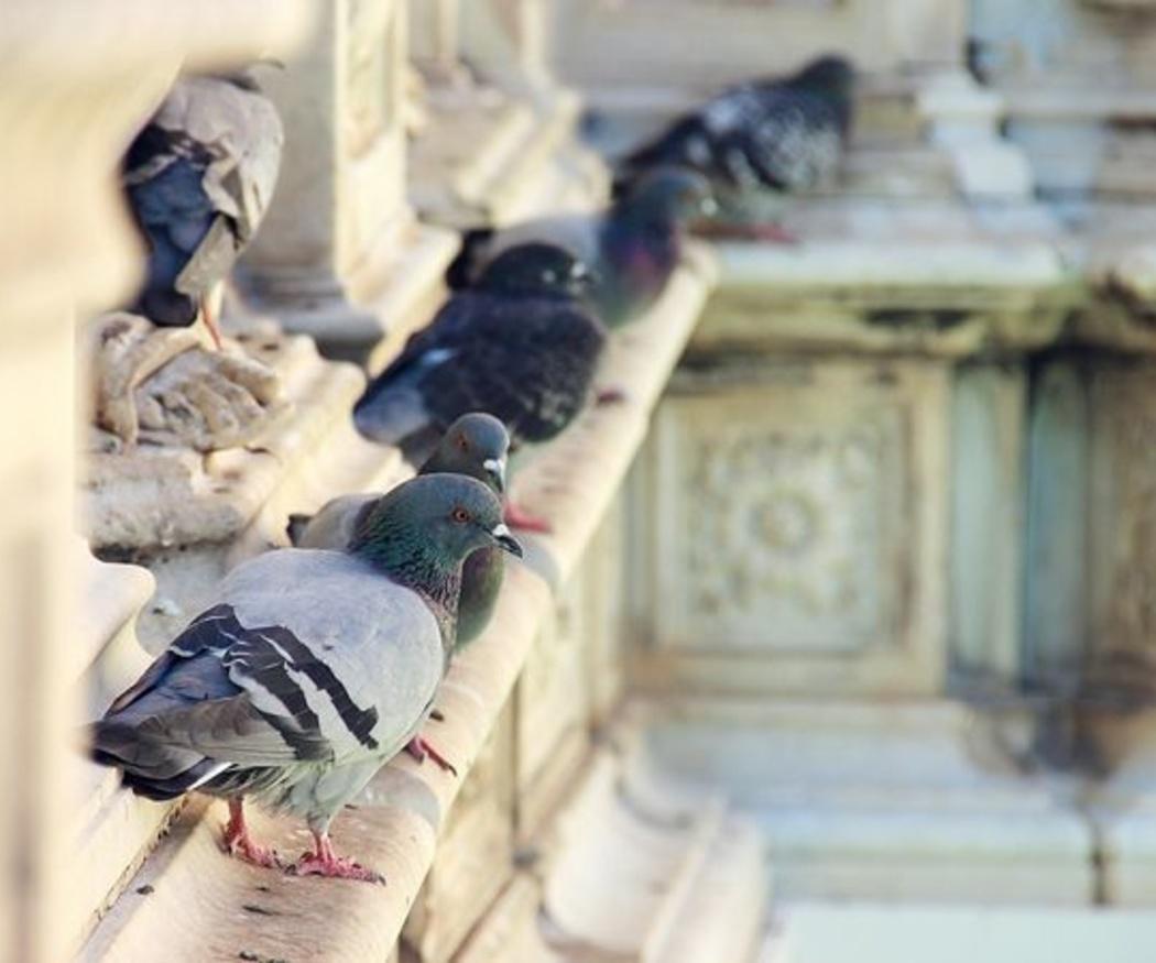 Cómo luchar contra las palomas