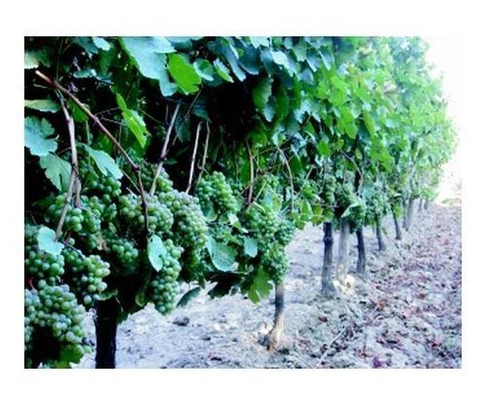 Uvas de mesa: Catálogo de productos de Viveros José López