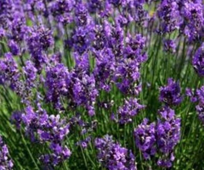 Plantas aromáticas: Productos  de Endanea Garden Center