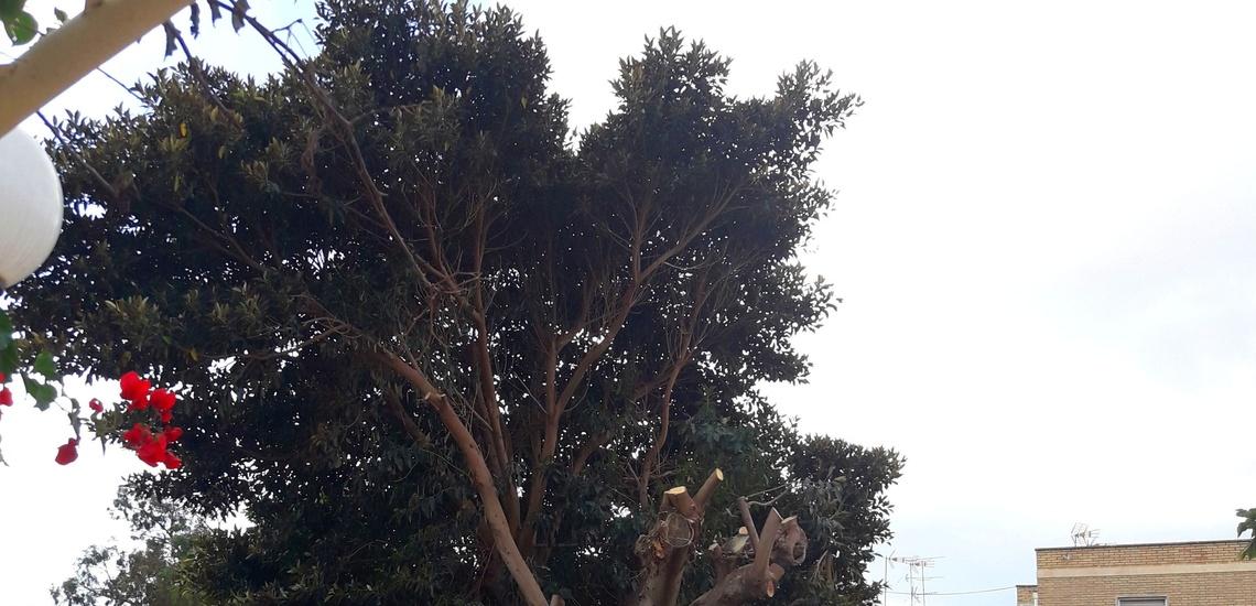 Poda de Ficus en altura en Murcia