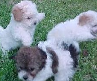 Clases de peluquería canina y felina: Nuestros trabajos de Animals Ca la Ruth