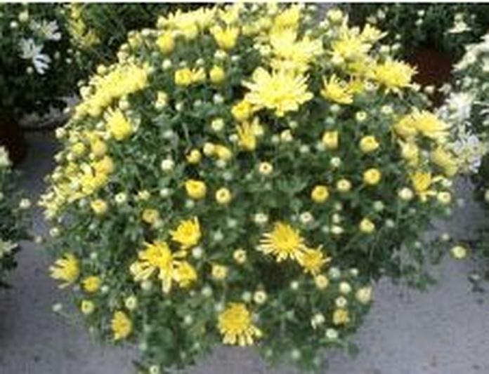 Margaritas: Catálogo de De La Hoz Plantas y Flores