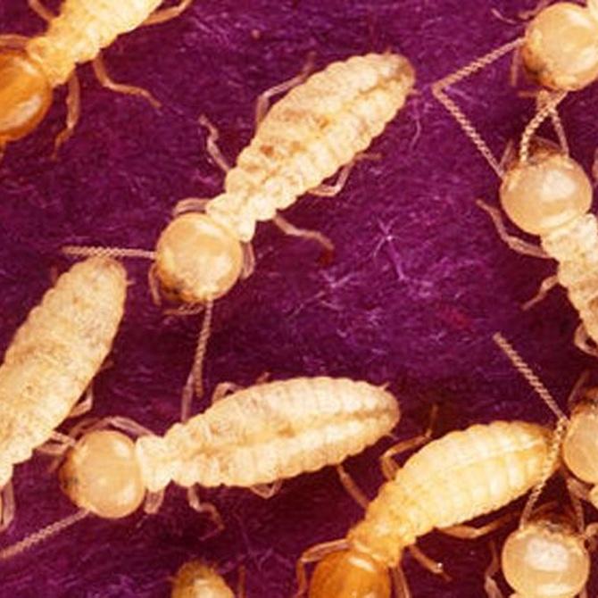 Consejos para detectar las termitas en casa