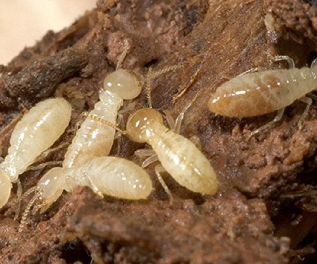 Las termitas en los suelos de madera