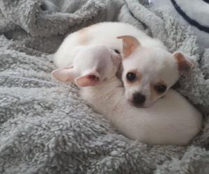 Chihuahuas en oviedo