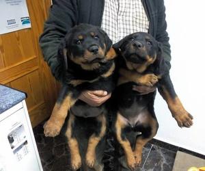 Vacunación de cachorros