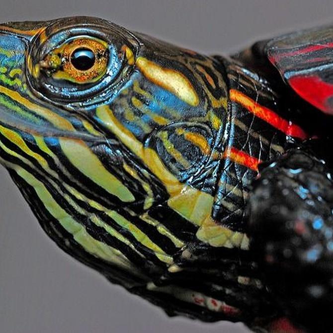 ¿Qué especie de tortugas quieres como mascota?