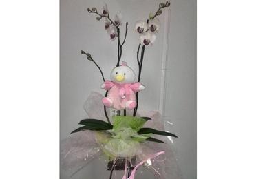 Orquídea nacimiento niño/niña si maceta