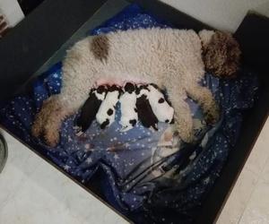Layla, una perra de agua ha sido mamá. Aunque tuvo un parto muy largo está estupenda. La gestación en perros es aproximadamente de dos meses(57-63 dias)
