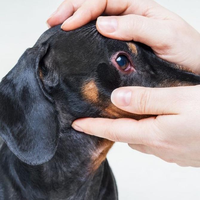 Afecciones oculares frecuentes en perros