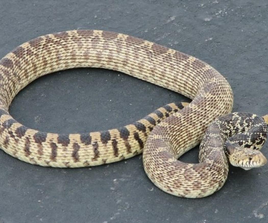 Cómo y cuándo alimentar a las serpientes