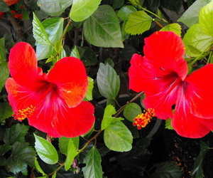 Hibiscus Rojo.