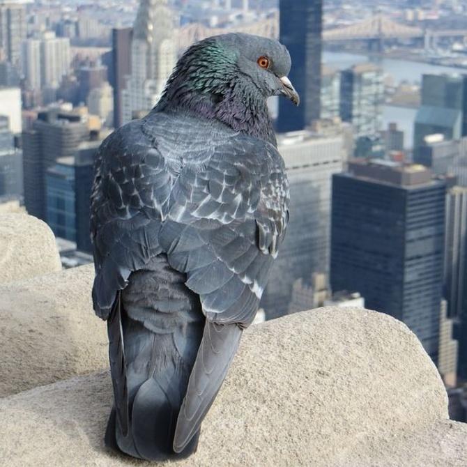 Las palomas son un peligro para tu salud y para el patrimonio de los municipios