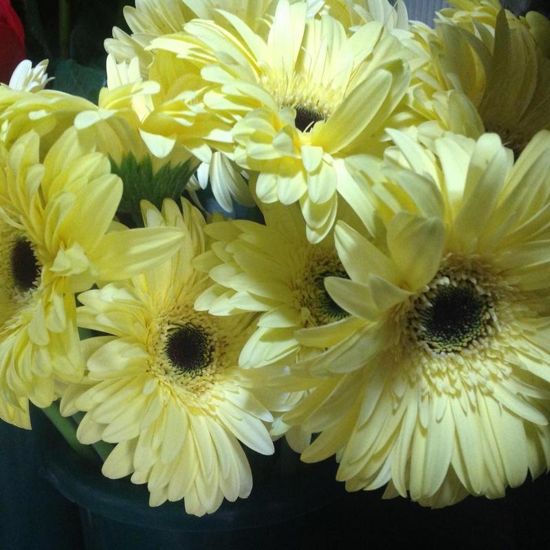 Gerberas: Catálogo de Flores Maranta
