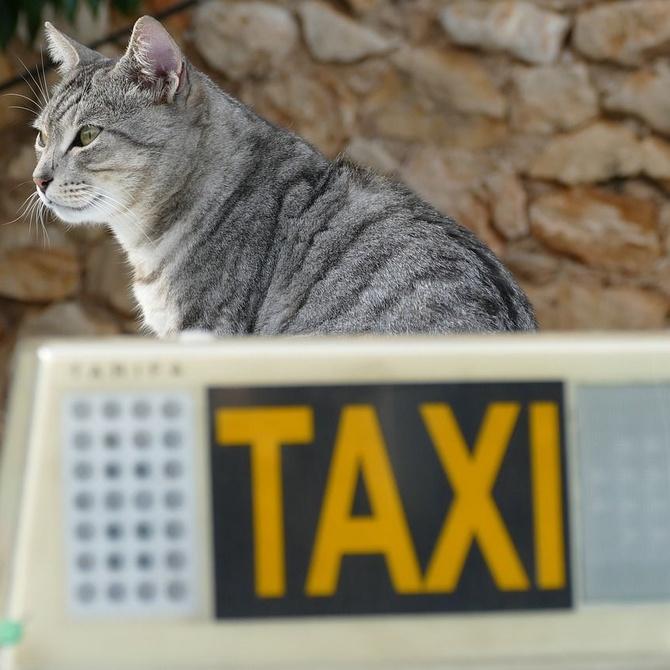 Cómo viajar en taxi con tu mascota