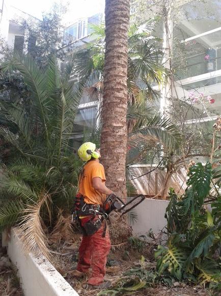 Tala palmera Phoenix dactylifera.